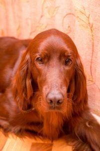 Retriever dog face. With orange background.